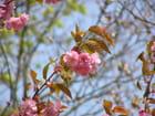 Fleurs de prunus - Gérard ROBERT