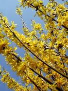 Fleurs forsythias - Michel-Marie Solito de Solis