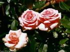 3 roses de Belgique -