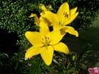 Lys jaune - Jean-louis CHOLLET