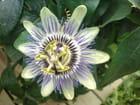 Fleur de la passion -