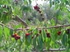 Bing les belles cerises par Albert IPERT sur L'Internaute