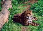 Jaguar - Laurent NOLIUS