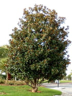Magnolia for ever - jacqueline joly