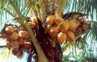 Noix de coco - Jean-gilbert MOREAU