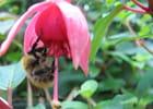 Fuchsia et bourdon - Malou TROEL