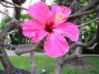 Hibiscus rose de chine par Jean-pierre MARRO sur L'Internaute