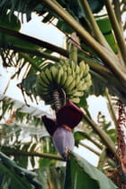 Fleur de banane - Anne ROFFET