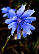L'abeille et le bleuet - Huguette Roman