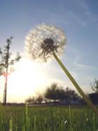 Du soleil dans les pissenlits -
