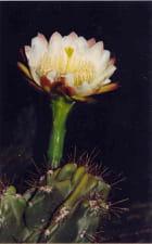 Floraison nocturne - Sonia CUNGS