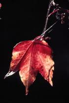 La feuille rouge - Jean-pierre GOUGET