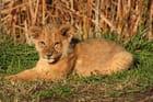 Mini roi lion - Servane PAUCHENNE