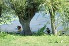 2 canards sous un saule - Bernard ENRICI