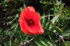 Jolis coquelicots - maryse rozerot