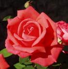 Mignone, allons voir si la rose... - Corinne DE MATOS