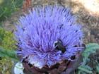 Fleur d' artichaut - Didier DANGOUMAU