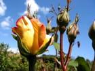 Rose (parure d'or) - Jean-pierre MARRO