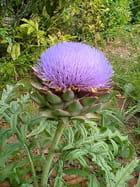Fleur d artichaut - josette leclercq