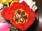 Tulipe rouge - Jacqueline Hugonnet