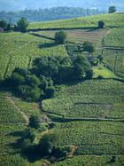 A travers les vignes du Beaujolais