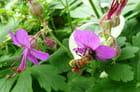 Abeille butinant un géranium vivace dans mon jardin