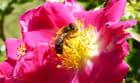 Abeille butineuse chargée de pollen - 1