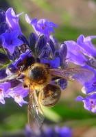 abeilles butineuses de lavande