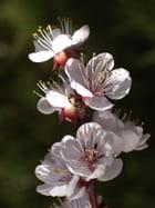 Abricotier  fleurs