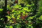 acalypha hispida euphorbiacéa