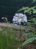Agapanthe bretonne