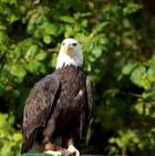 Aigle d'Amérique