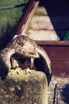 Aigle ravisseur