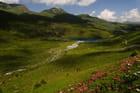 Alpenrosen dans la vallée d'Arosa