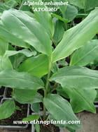 Alpinia zerumbet plante