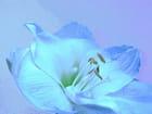 Amaryllis bleue