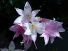 Amaryllis de jardin