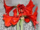 Amaryllis redlion