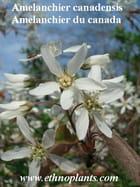 Amelanchier canadensis graines