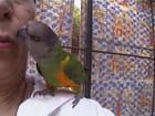 Amour de perroquet