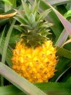 Ananas variété Victoria
