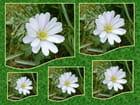 Anémone de grèce (White Splendour)