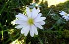 Anémone de grèce « White splendour » aux fleurs blanches