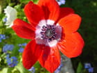 Anémone rouge vif