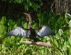 Anhinga :  grand oiseau palmipède