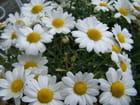 Anthémis;une floraison généreuse depuis un moment