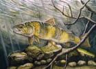Aquarelle truite fario