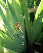 Araignée (argiope bruennichi)
