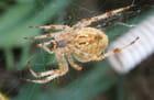 Araignée (mygale ?)