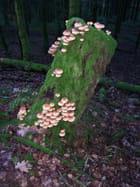 Arbre à champignons